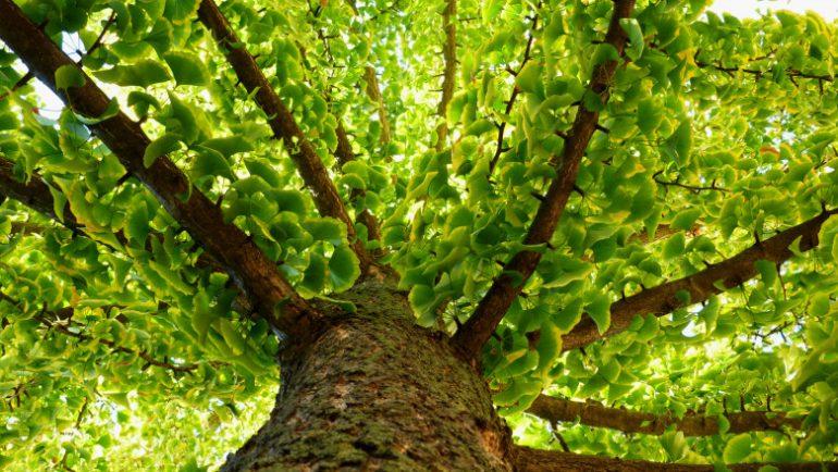 Arborele de Ginkgo Biloba
